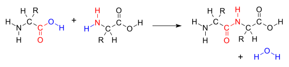 contoh ikatan peptida